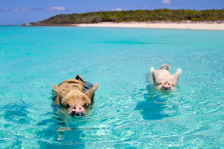 This Little Piggy    (Swim With The Pigs In The Exumas