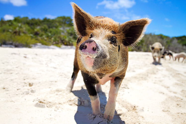 Sailing-Blog-Cruising-Bahamas-Caribbean-Exumas-Big-Major-Spot-Staniel-Cay-Pig-Beach-Swim-With-the-Pigs-LAHOWIND-eIMG_4125