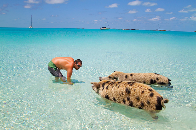 This Little Piggy Swim With The Pigs In The Exumas Lahowind